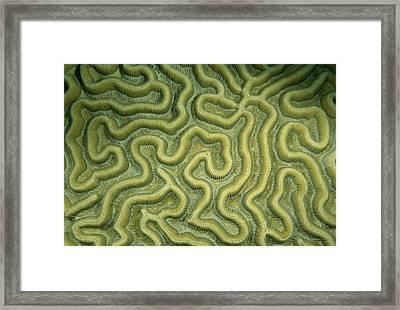 Close-up Of The Exterior Of Brain Coral Framed Print by Wolcott Henry
