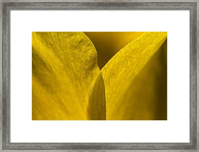 Close Up Of The Petals Of A Daffodil Framed Print by Todd Gipstein