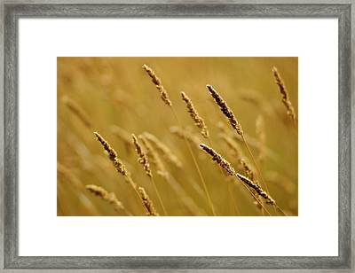 Close-up Of Wheat Framed Print