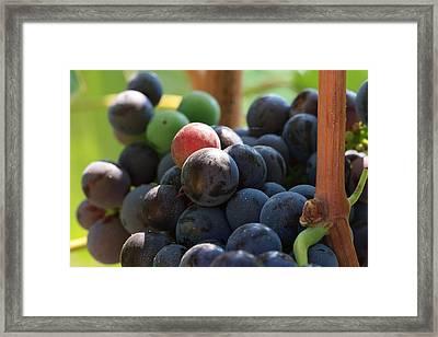 Close Up Of Wine Grapes Framed Print by Dina Calvarese