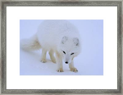 Close Up Portrait Of A White Arctic Framed Print by Norbert Rosing