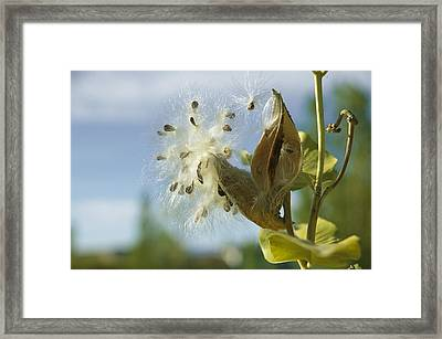 Close View Detail Of A Milkweed Seed Framed Print