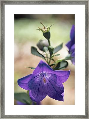 Close View Of A Balloon Flower In Bloom Framed Print by Darlyne A. Murawski