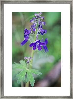 Close View Of A Blue Phlox In Bloom Framed Print