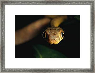 Close View Of A Cat Snake Framed Print by Tim Laman