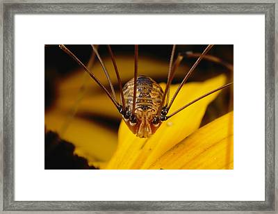 Close View Of A Daddy Longlegs Framed Print