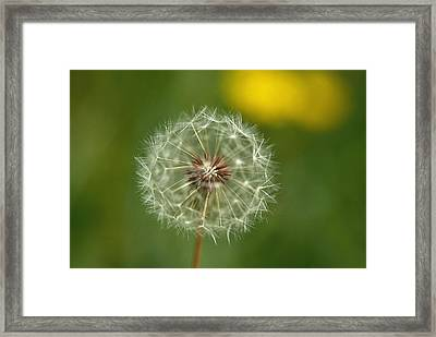 Close View Of A Dandelion Gone To Seed Framed Print