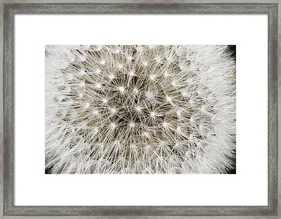 Close View Of A Dandelion Seed Head Framed Print