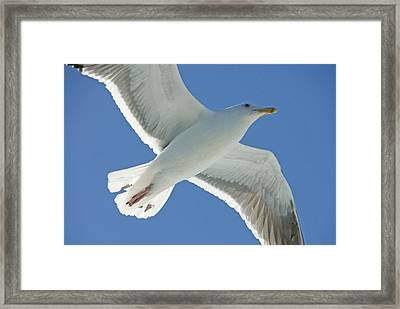 Close View Of A Flying Seagull Framed Print by Stephen Sharnoff