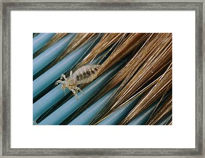 Close View Of A Head Louse Pediculus Framed Print by Darlyne A. Murawski