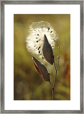 Close View Of A Milkweed Pod Gone Framed Print