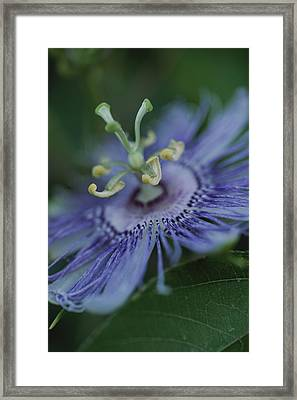 Close View Of A Passion Flower Framed Print by Michael Melford