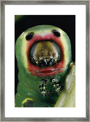 Close View Of A Puss Moth Caterpillar Framed Print by Darlyne A. Murawski