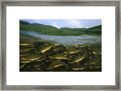 Close View Of Pink Salmon Swimming Framed Print by Joel Sartore