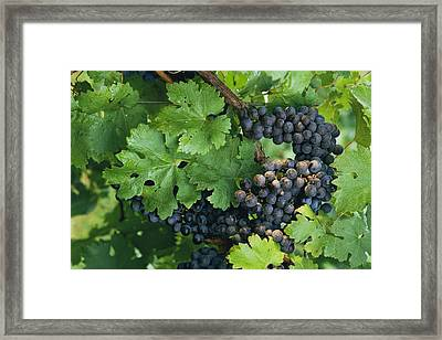 Close View Of Red Grapes On The Vine Framed Print by Kenneth Garrett