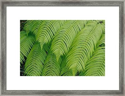 Close View Of Tree Ferns Cibotium Framed Print
