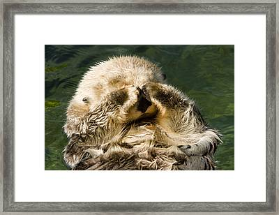 Closeup Of A Captive Sea Otter Covering Framed Print by Tim Laman