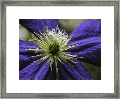 Closeup Of A Clematis Flower Framed Print by Amy White & Al Petteway