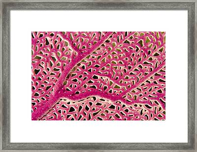 Closeup Of A Pink Sea Fan Framed Print by Tim Laman