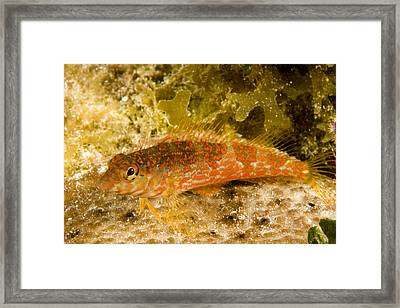 Closeup Of A Saddled Bleny Malacoctenus Framed Print by Tim Laman