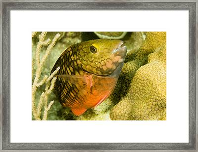 Closeup Of A Stoplight Parrotfish Framed Print by Tim Laman