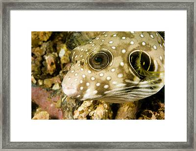 Closeup Of A White Spotted Puffer Fish Framed Print by Tim Laman