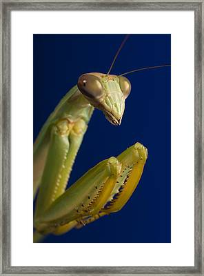 Closeup Of Praying Mantis Framed Print by Corey Hochachka