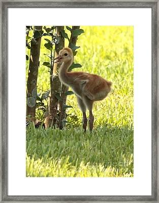 Closeup Of Sandhill Baby Framed Print by Carol Groenen