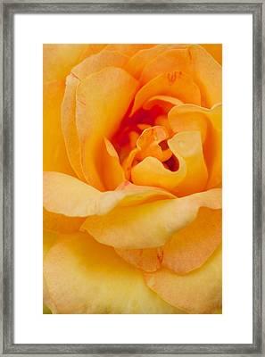 Closeup Yellow Rose Framed Print by Atiketta Sangasaeng
