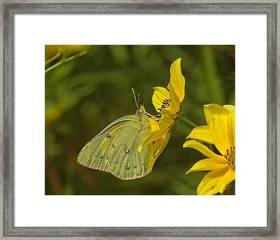 Clouded Sulphur Butterfly Din099 Framed Print