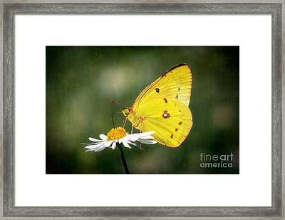 Clouded Sulphur Butterfly Framed Print by Susan Isakson