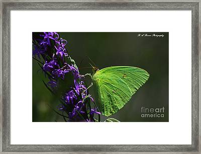 Cloudless Sulpher Butterlfy Framed Print by Barbara Bowen