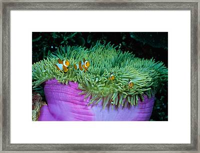 Clown Anemonefish In A Large Sea Framed Print by Wolcott Henry