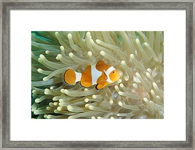 Clown Anemonefish In Sea Anemone Framed Print by Joe Stancampiano