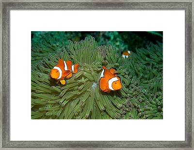 Clown Anemonefish In The Tentacles Framed Print by Wolcott Henry