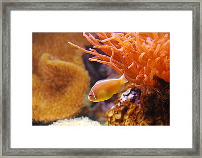Clown Fish Framed Print by Anthony Citro