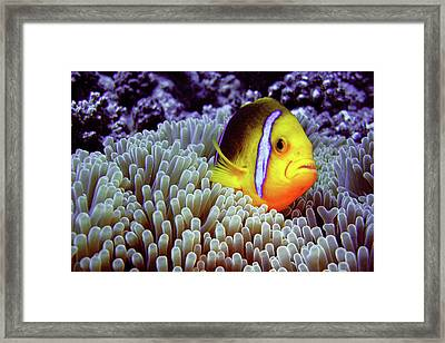 Clown Fish In Sea Anemone Framed Print by Capture the World by LL
