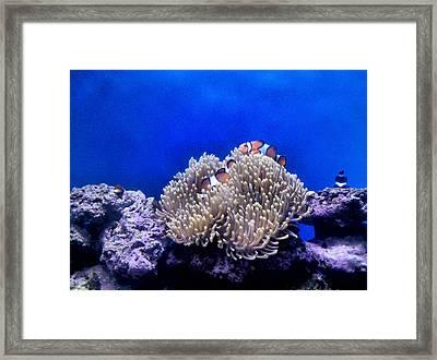 Clown Fish Resting Framed Print