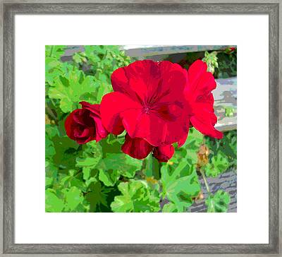 Cluster Of Bright Geranium Flowers Framed Print by Padre Art