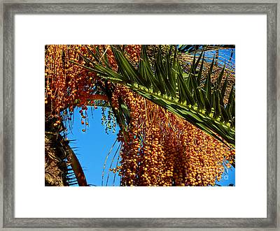 Framed Print featuring the photograph Cluster Of Dates On A Palm Tree  by Alexandra Jordankova