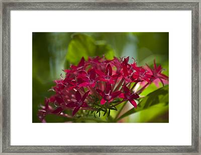 Cluster Of Red Framed Print
