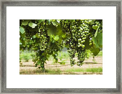 Clusters Of Grapes On The Vine At Fall Framed Print by James Forte