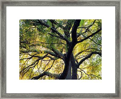 Coast Live Oak Framed Print by Alexander Kunz