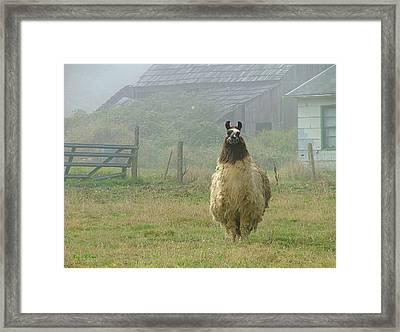 Coast Llama Framed Print