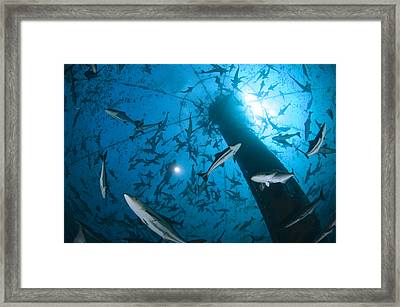 Cobia Inside A Submerged Deepwater Cage Framed Print