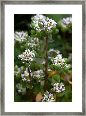 Cochlearia Officinalis Framed Print