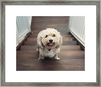 Cockapoo Dog Framed Print by Jody Trappe Photography