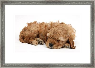 Cockapoo Pup Sleeping Framed Print by Mark Taylor