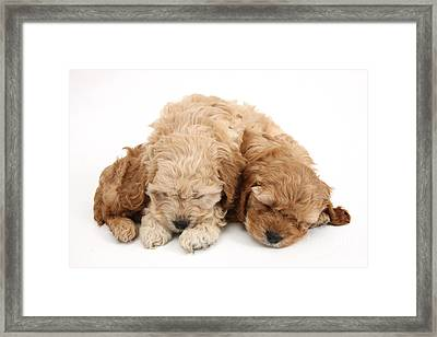 Cockapoo Pups Sleeping Framed Print by Mark Taylor