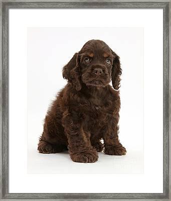 Cocker Spaniel Pup Framed Print by Mark Taylor